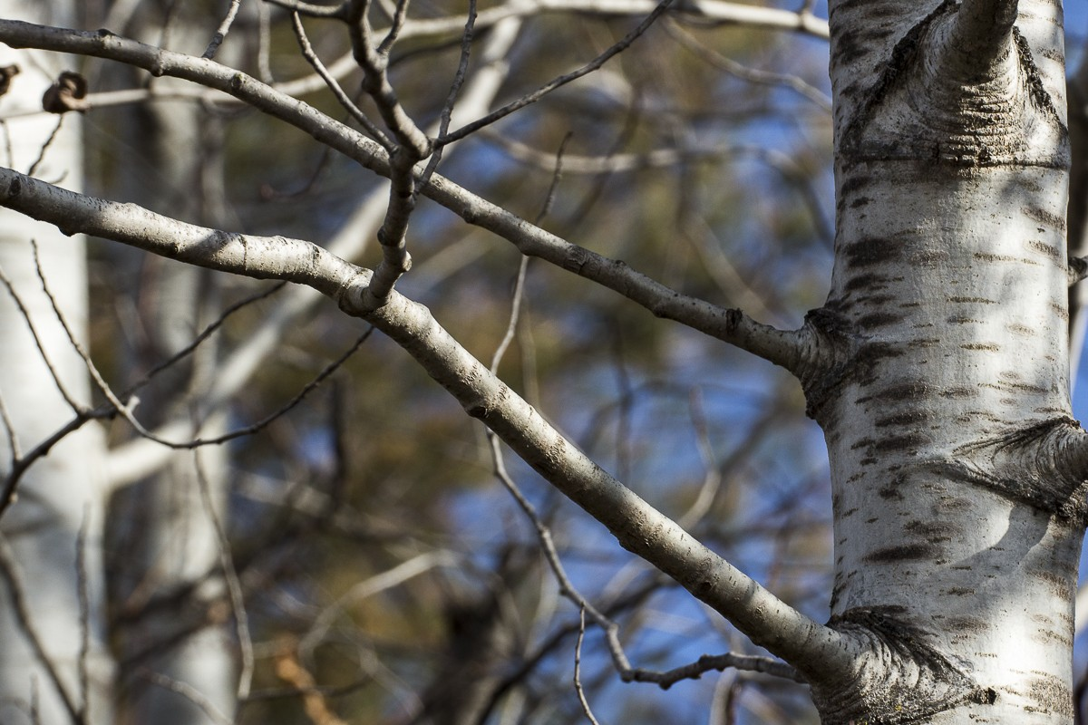 Birch.JPG