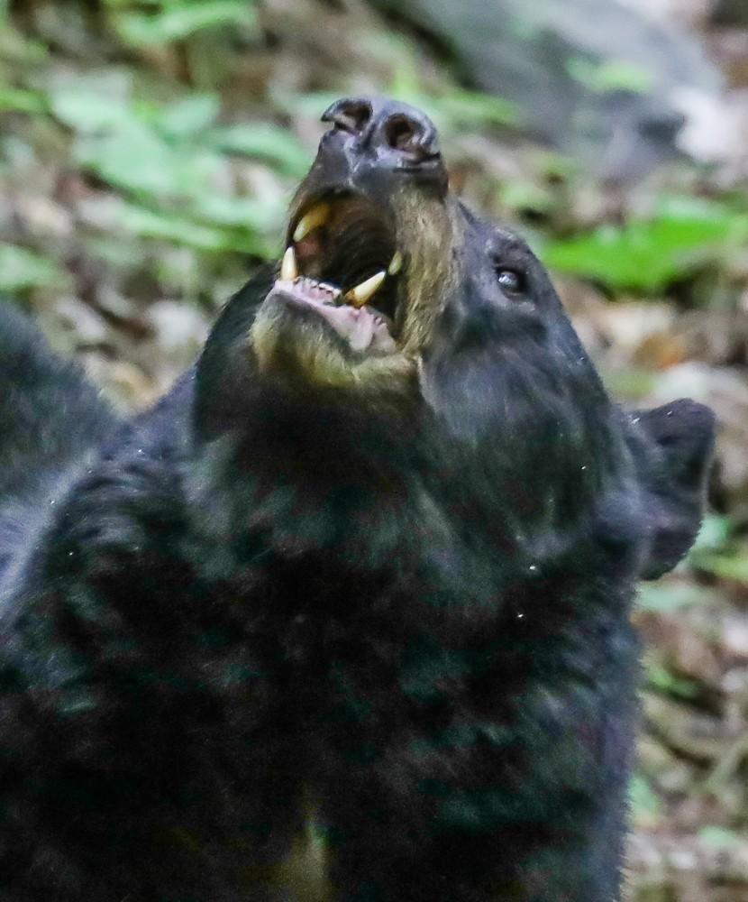 Black Bear 16 (1 of 1).jpg