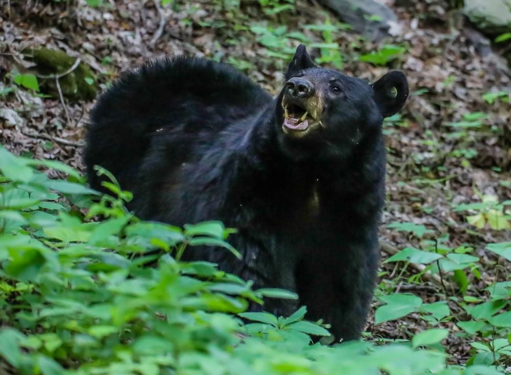 Black Bear 18 (1 of 1).jpg
