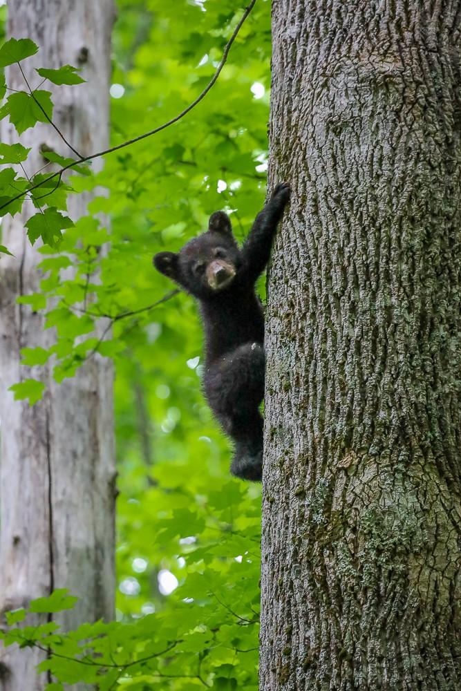 Black Bear 35 (1 of 1).jpg