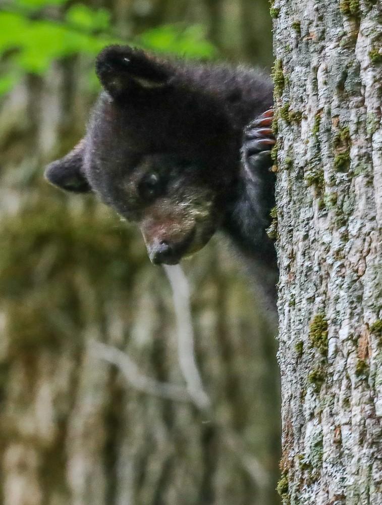 Black Bear 36 (1 of 1).jpg