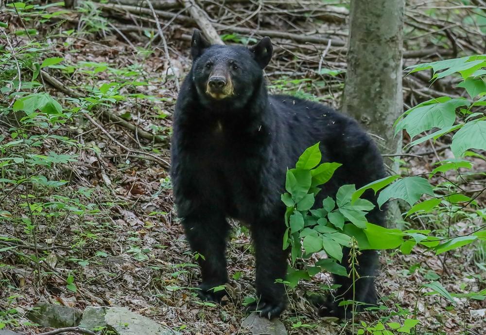 Black Bear 6 (1 of 1).jpg
