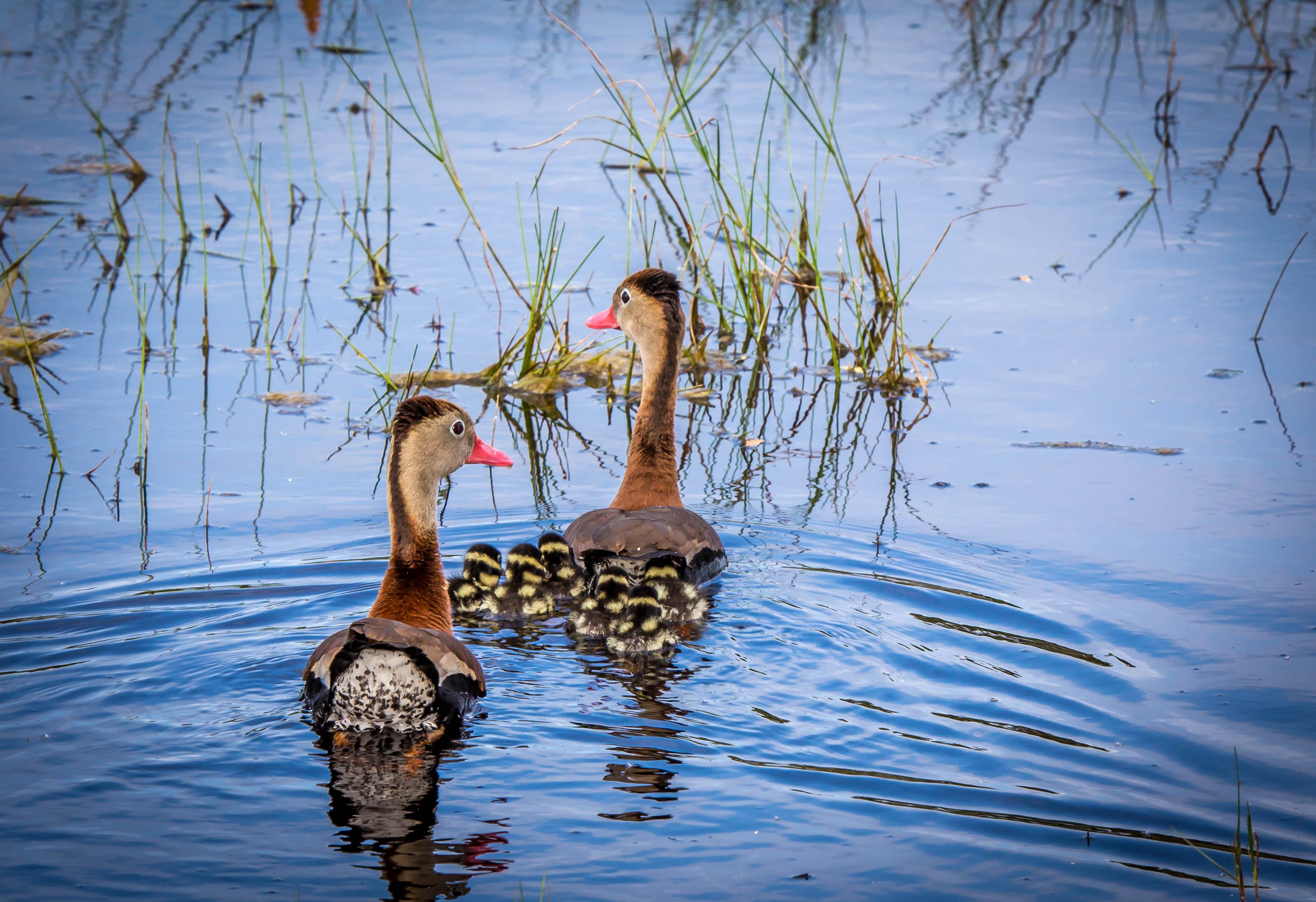 Black bellied Whistling Ducks and Babies.jpg
