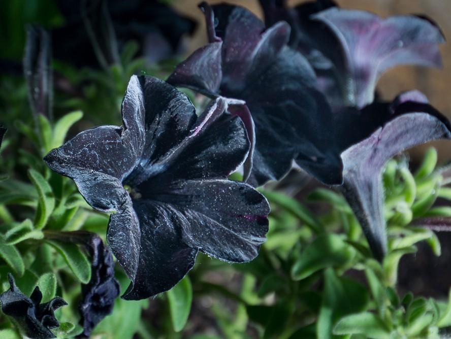 black petunia-1.jpg