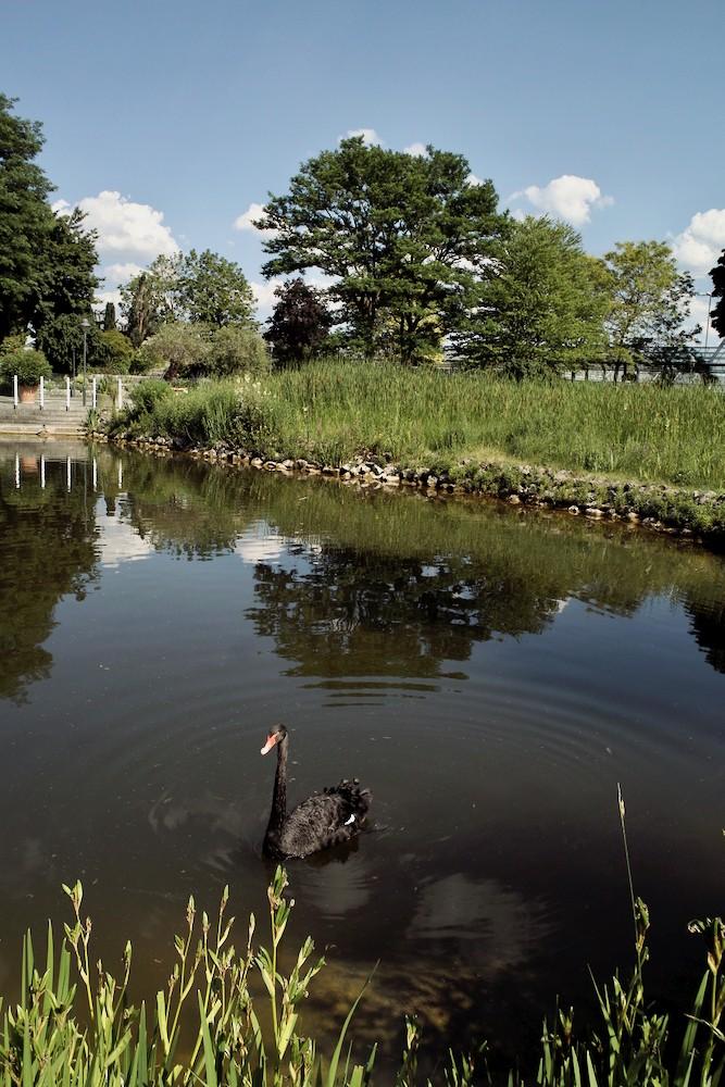 Black Swan - 1.jpg