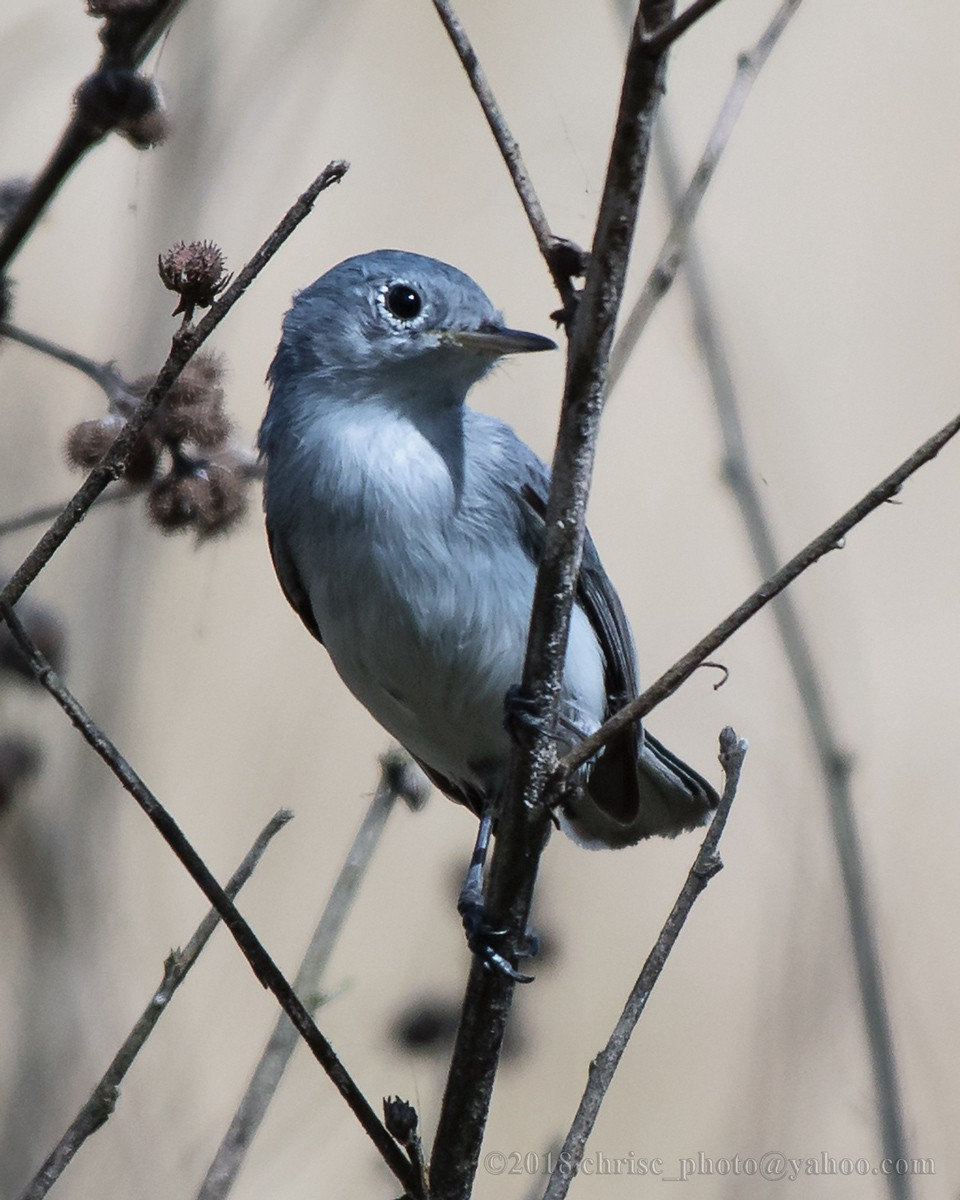 blue-gray-gnatcatcher.jpg