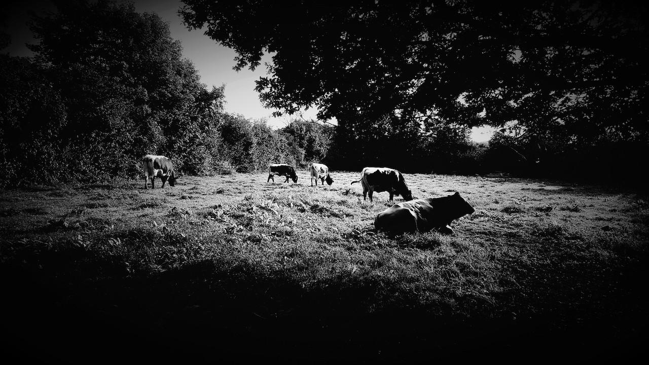 bovine beasts - 1 (1).jpeg