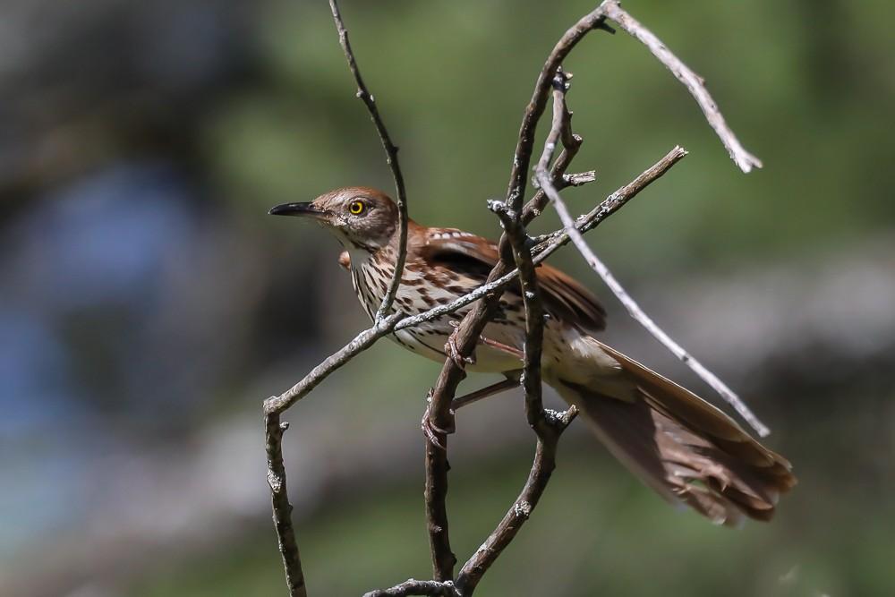 Brown Bird 1 (1 of 1).jpg
