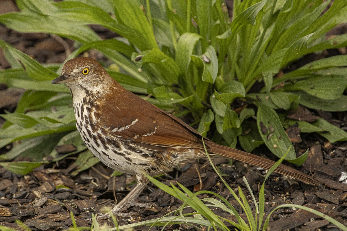 Brown Thrush.jpg