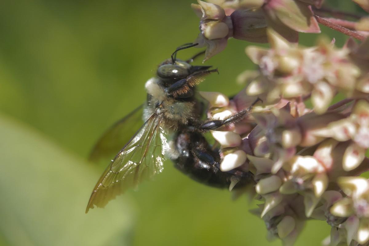 Bumblebee on Milkweed.jpg