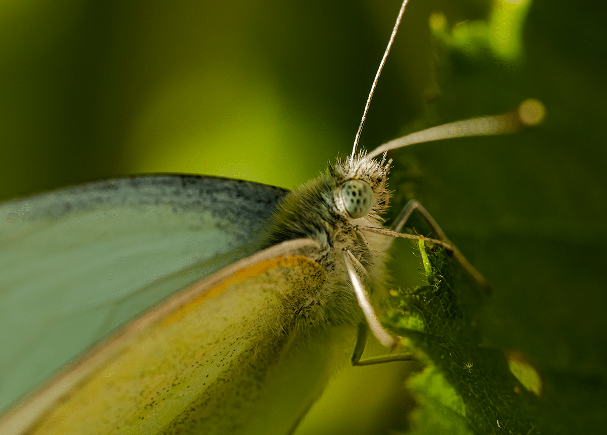Butterfly Closeup.png