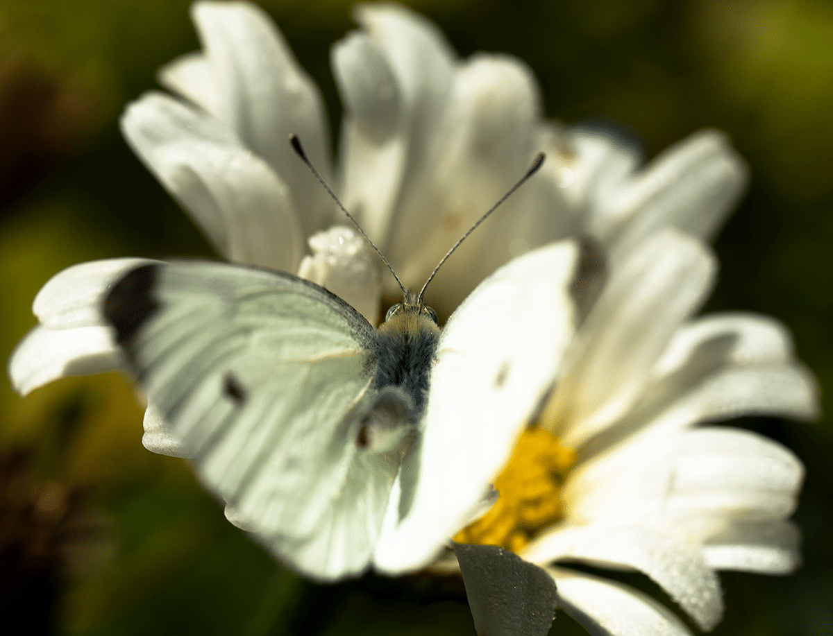 Butterfly Over the Shoulder.png