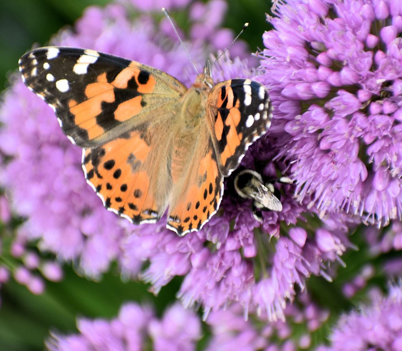 butterflybee2762.jpg