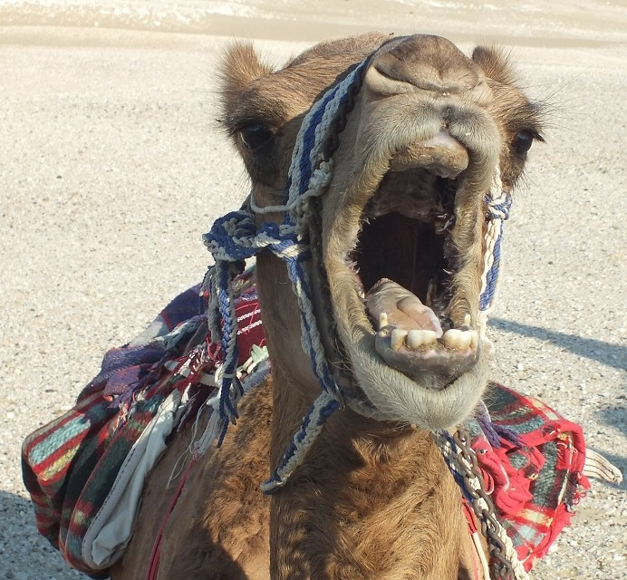 camelsmall1.jpg