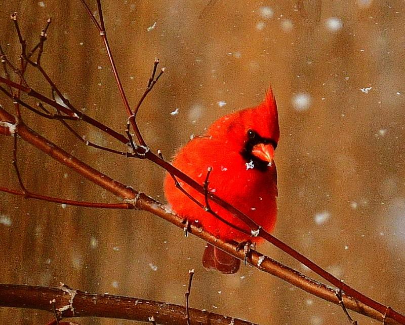 cardinal 040-002.JPG