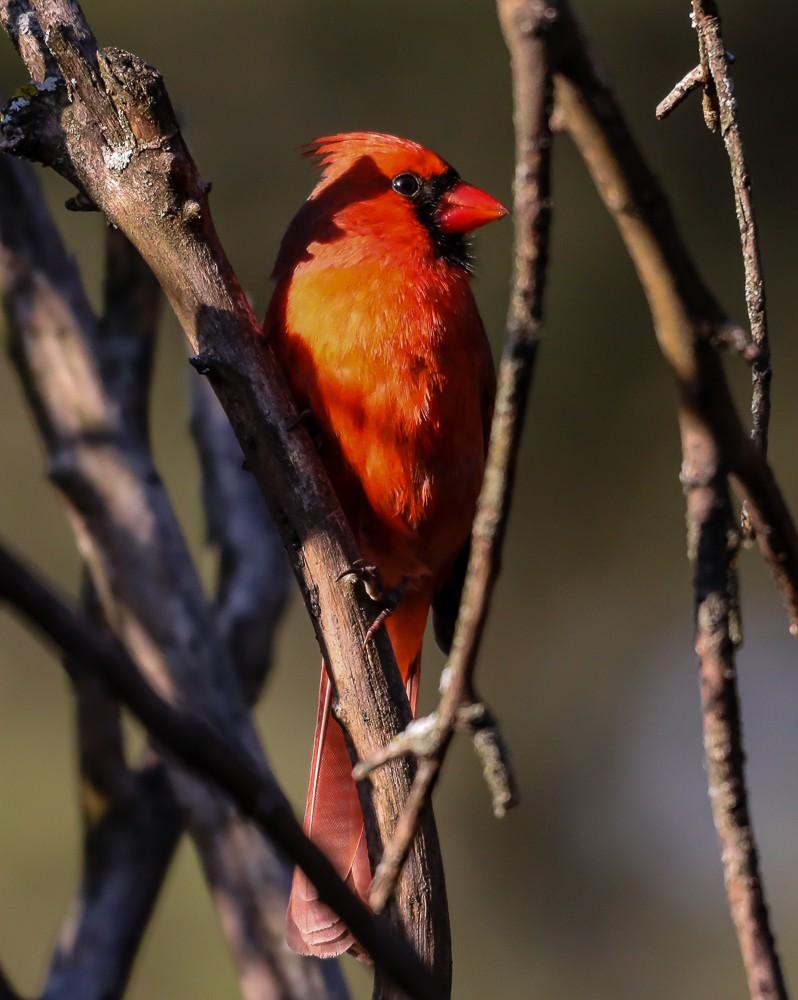 Cardinal 2 (1 of 1).jpg