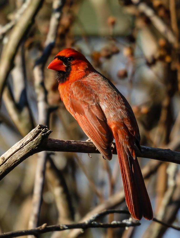 Cardinal 3 (1 of 1).jpg