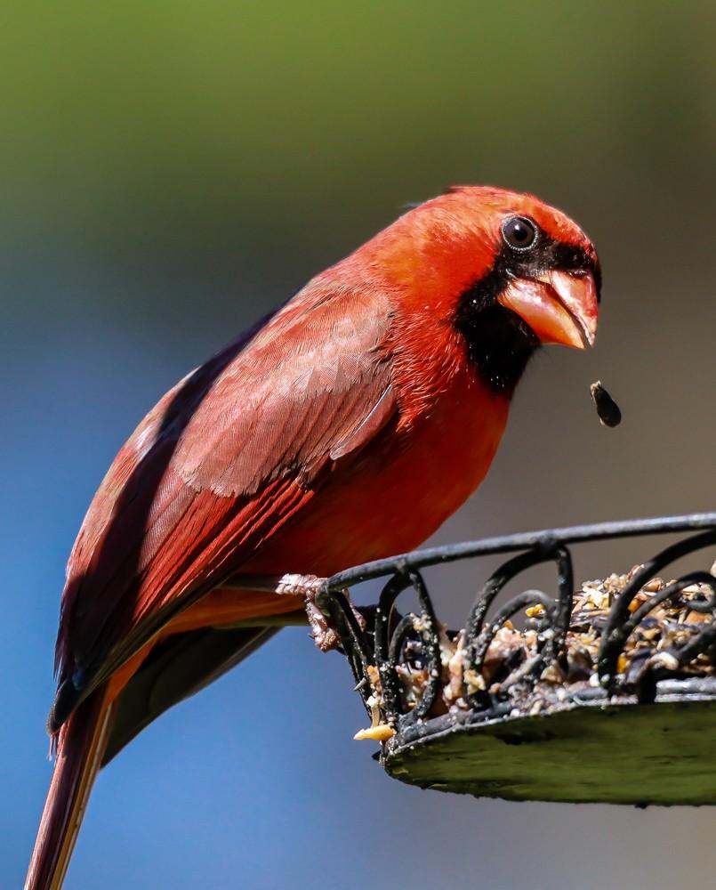 Cardinal Eating A Seed (1 of 1).jpg