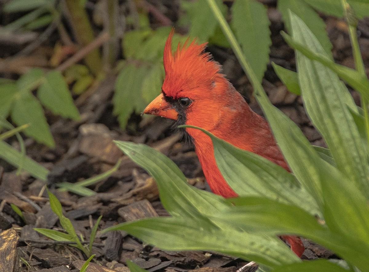 Cardinal Intense Eyes.jpg