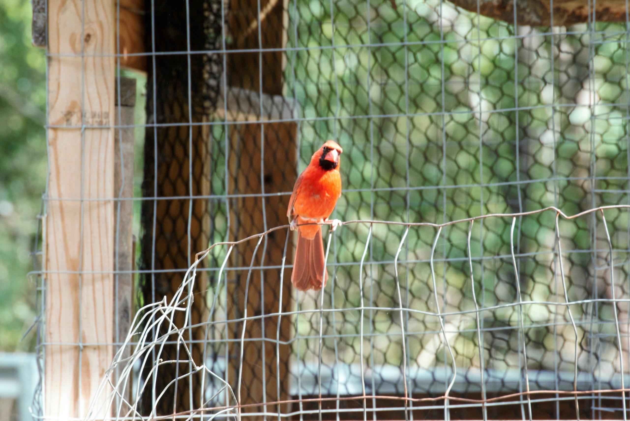 cardinal;.jpg