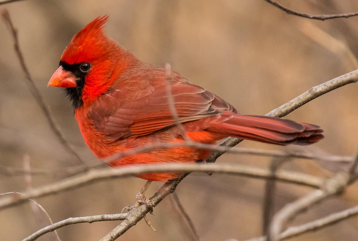 Cardinal Perched 1200.JPG