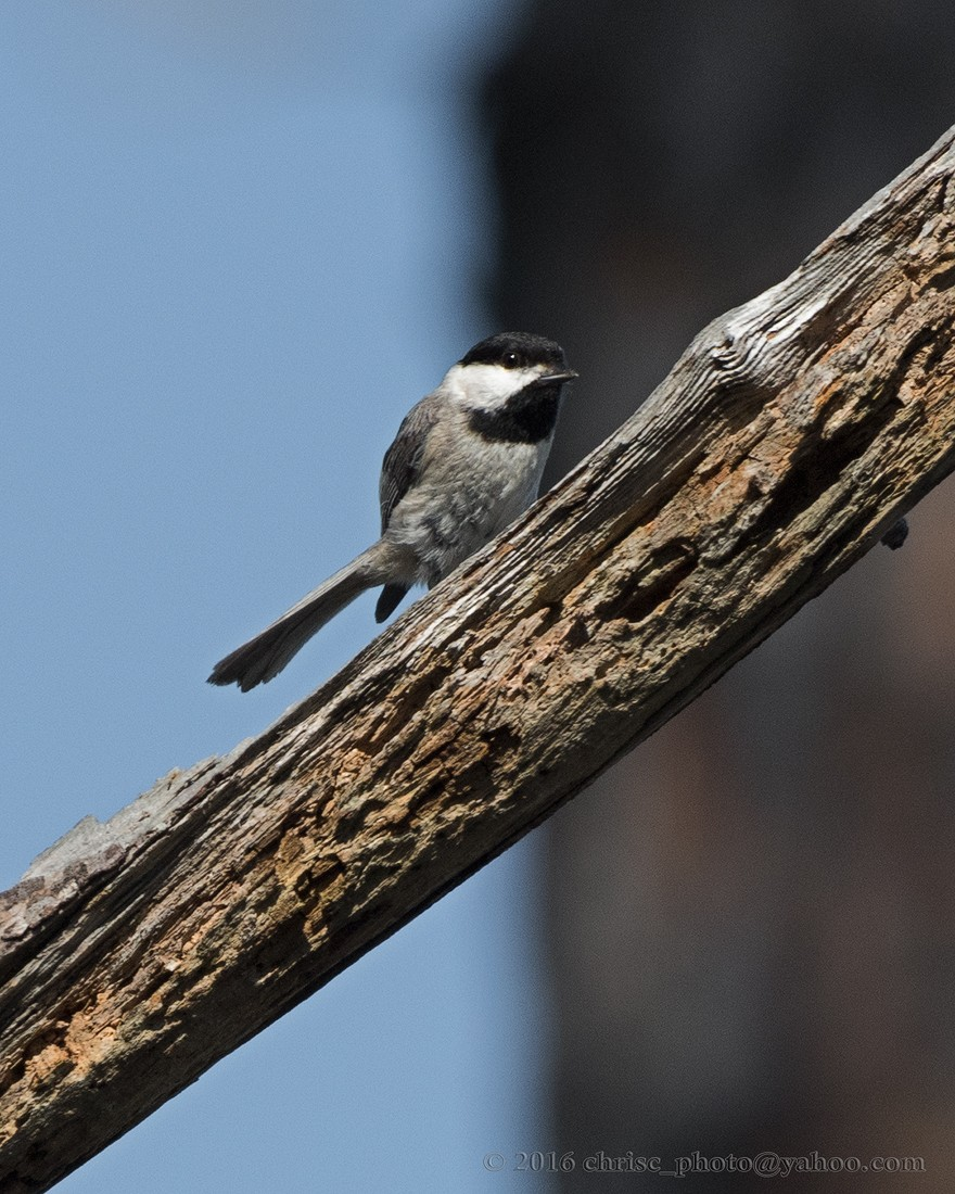 Carolina-Chickadee.jpg