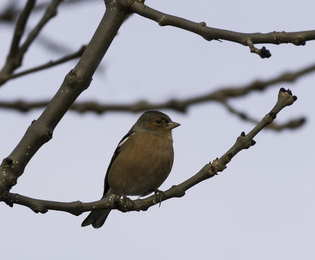 Chaffinch on a branch.jpg