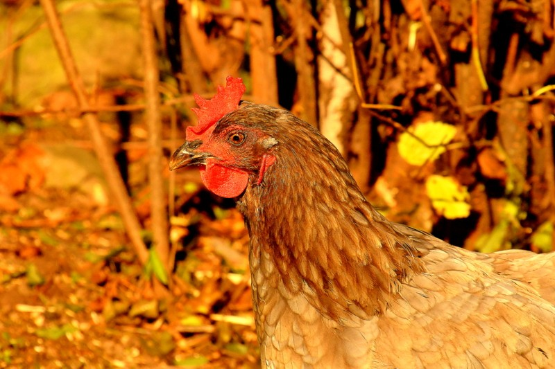 chicks 005-004.JPG