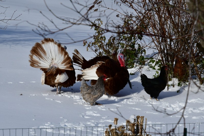 chicks and turks in snow 014-001.JPG