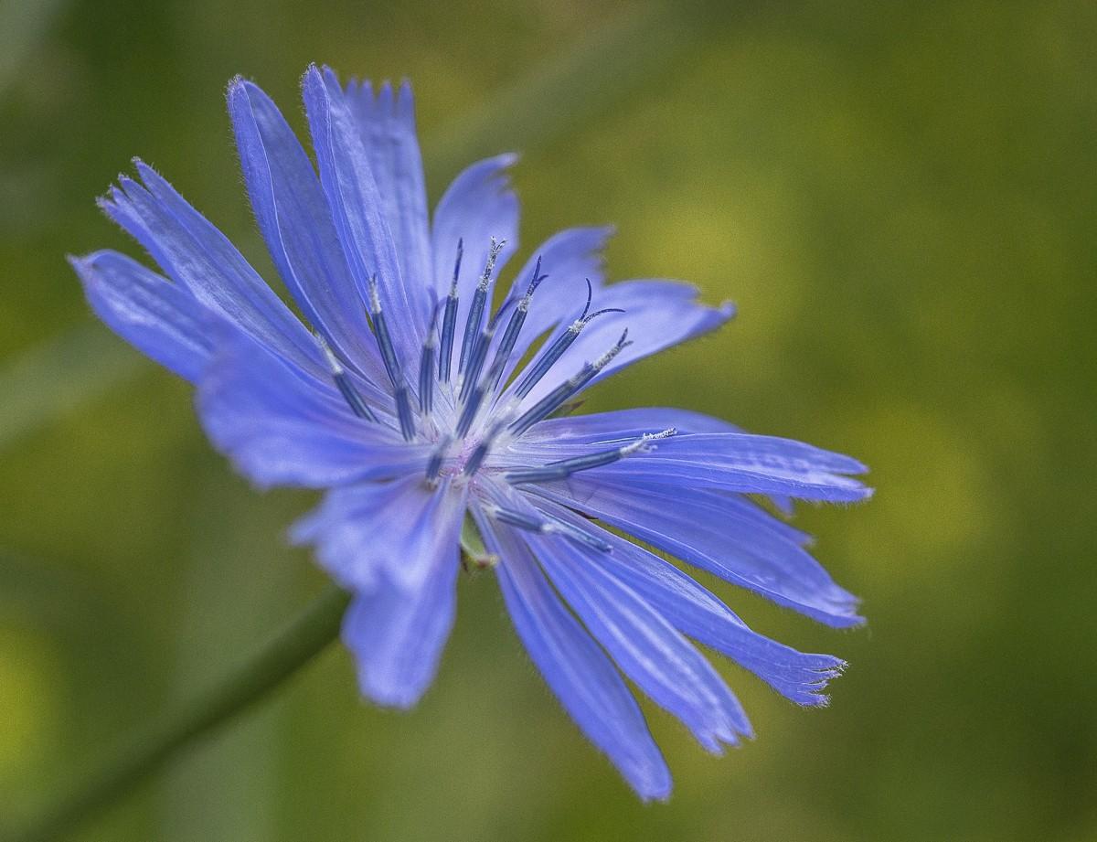 Chicory.jpg