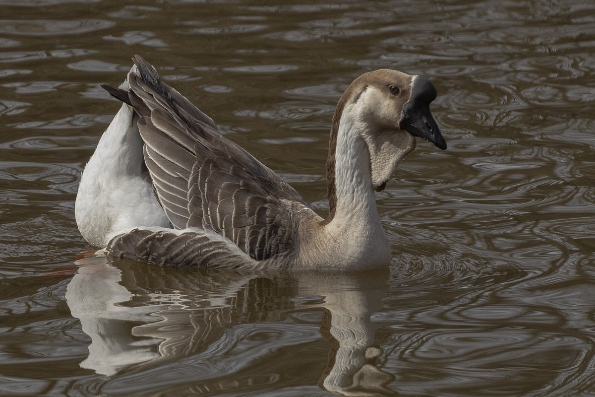 Chinese Brown Goose Swimming.jpg