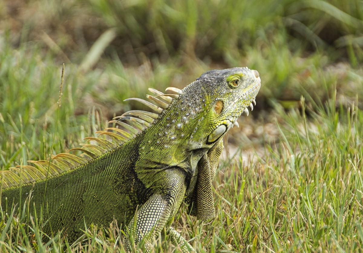 Colorful Iguana.jpg