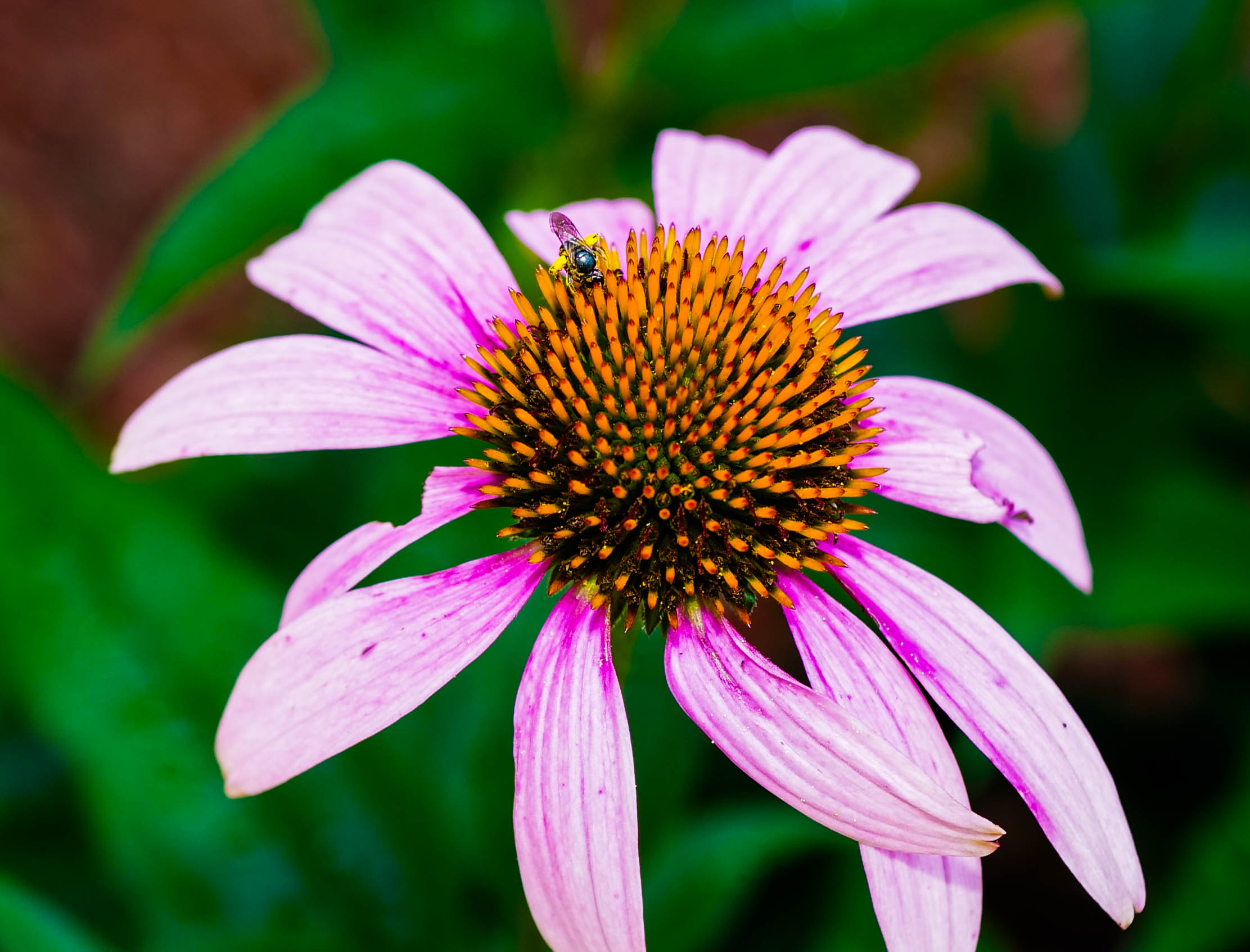 Cone flower and visitor.jpg