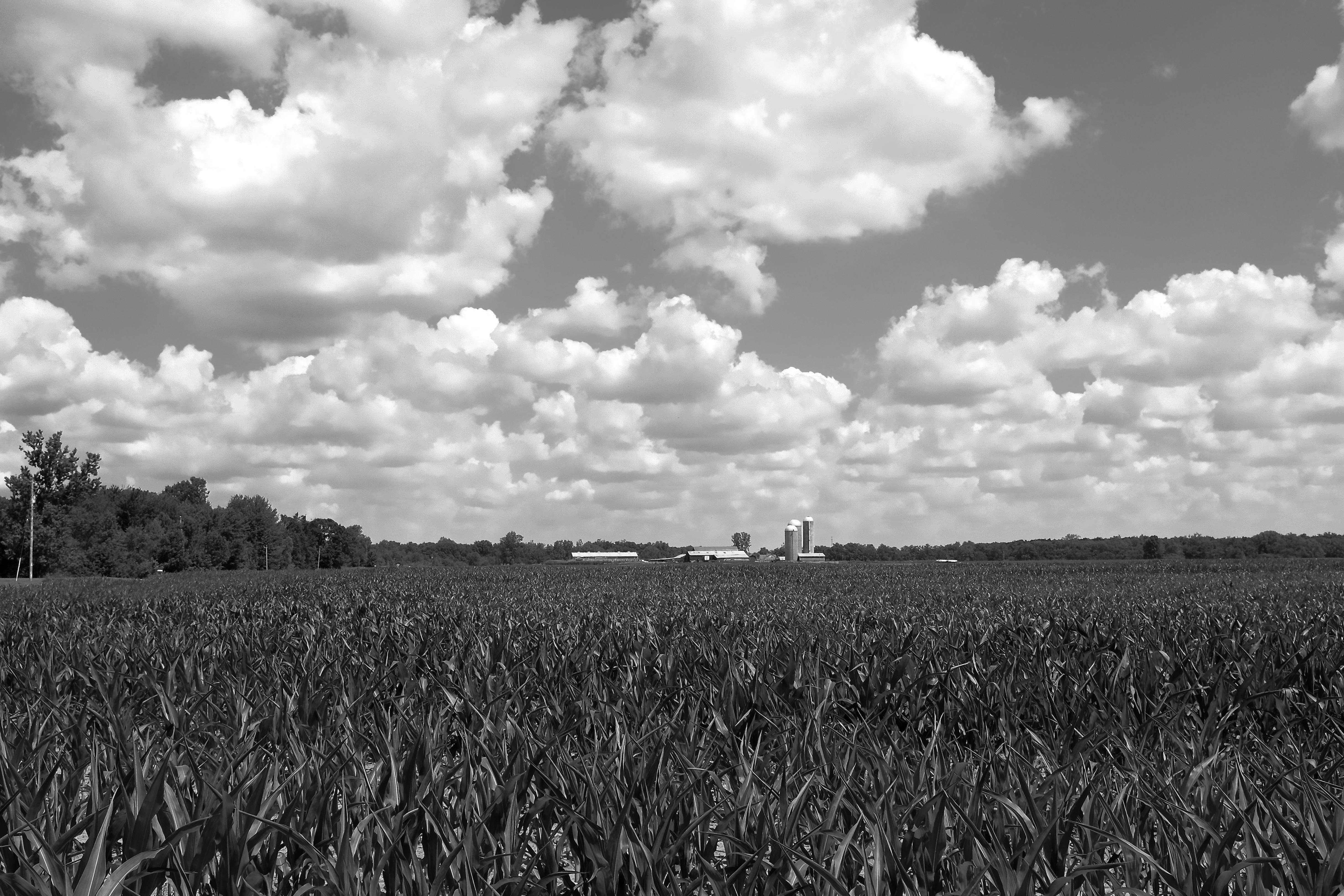 cornfield BW4275 (2).jpeg