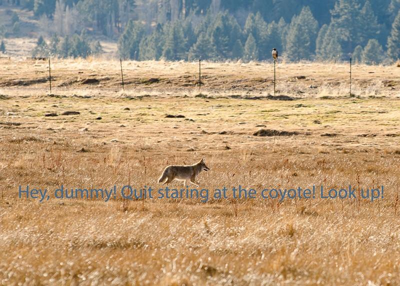 coyote-1-3.jpg