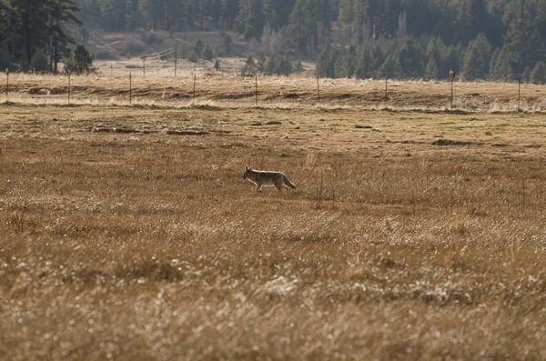 coyote no crop-1.jpg