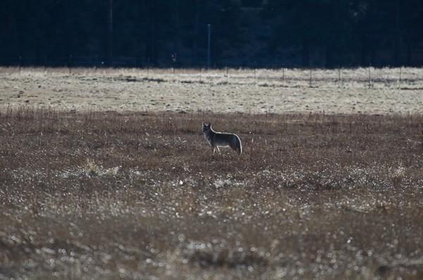 coyote sooc-1.jpg