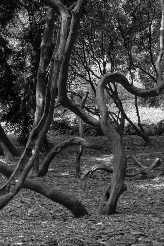 crooked trees-2.jpg