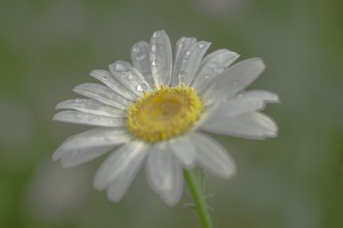Daisy Sharpened.jpg