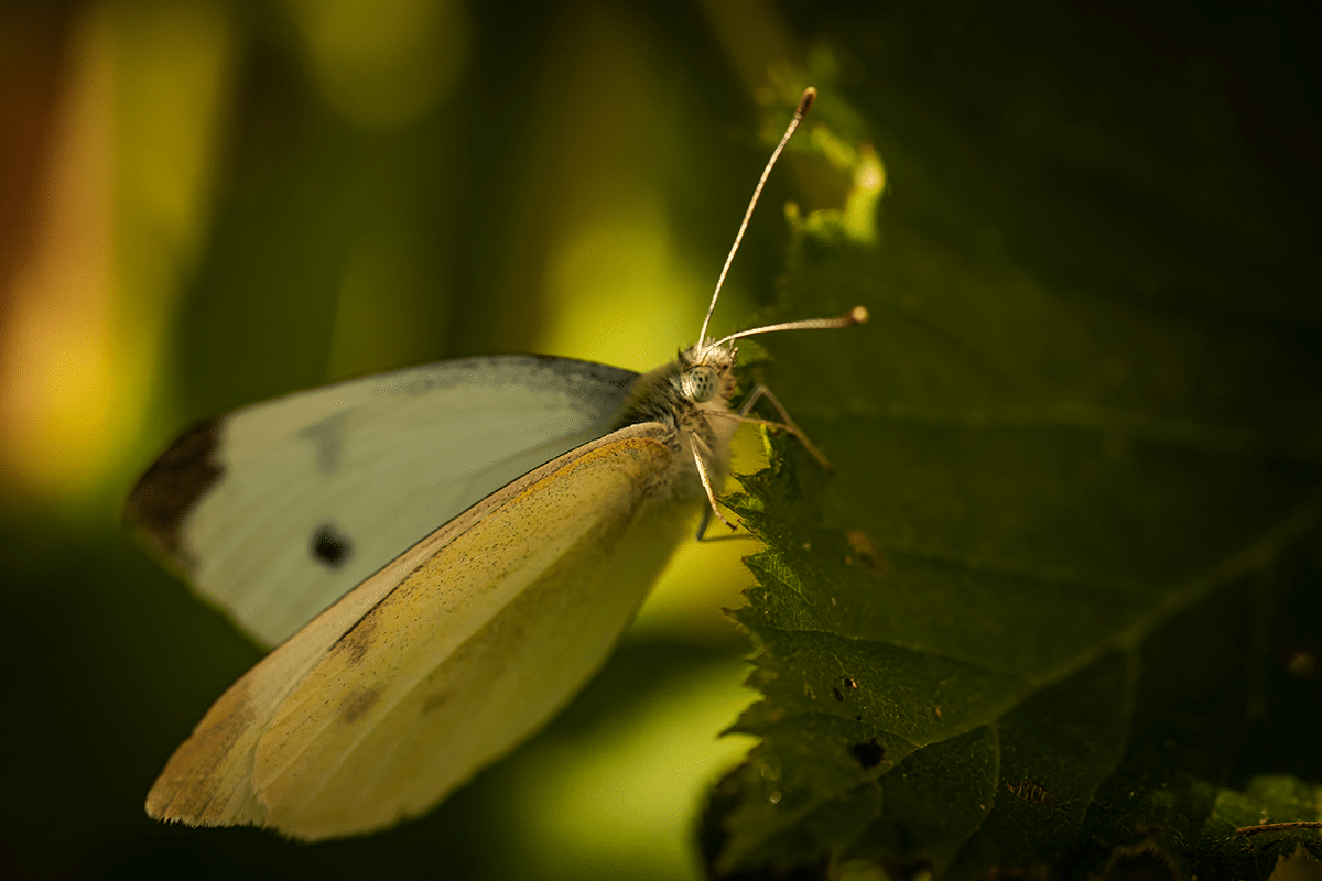 Dappled Butterfly.png