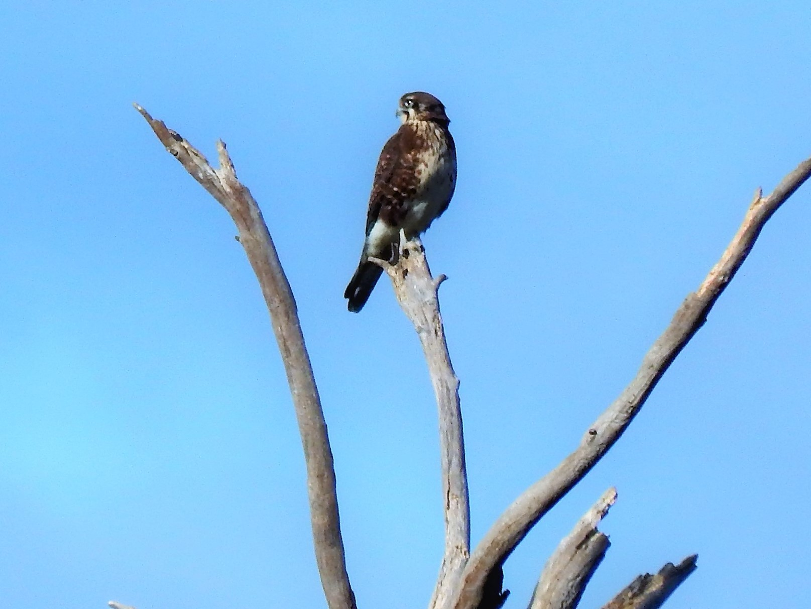 Dead Tree Brown Falcon.jpg