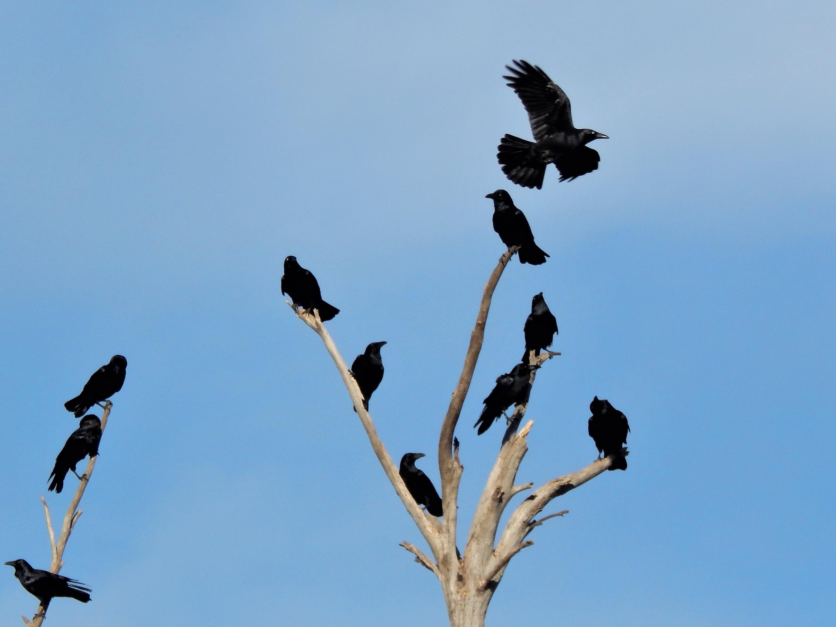Dead Tree Forest Ravens.jpg