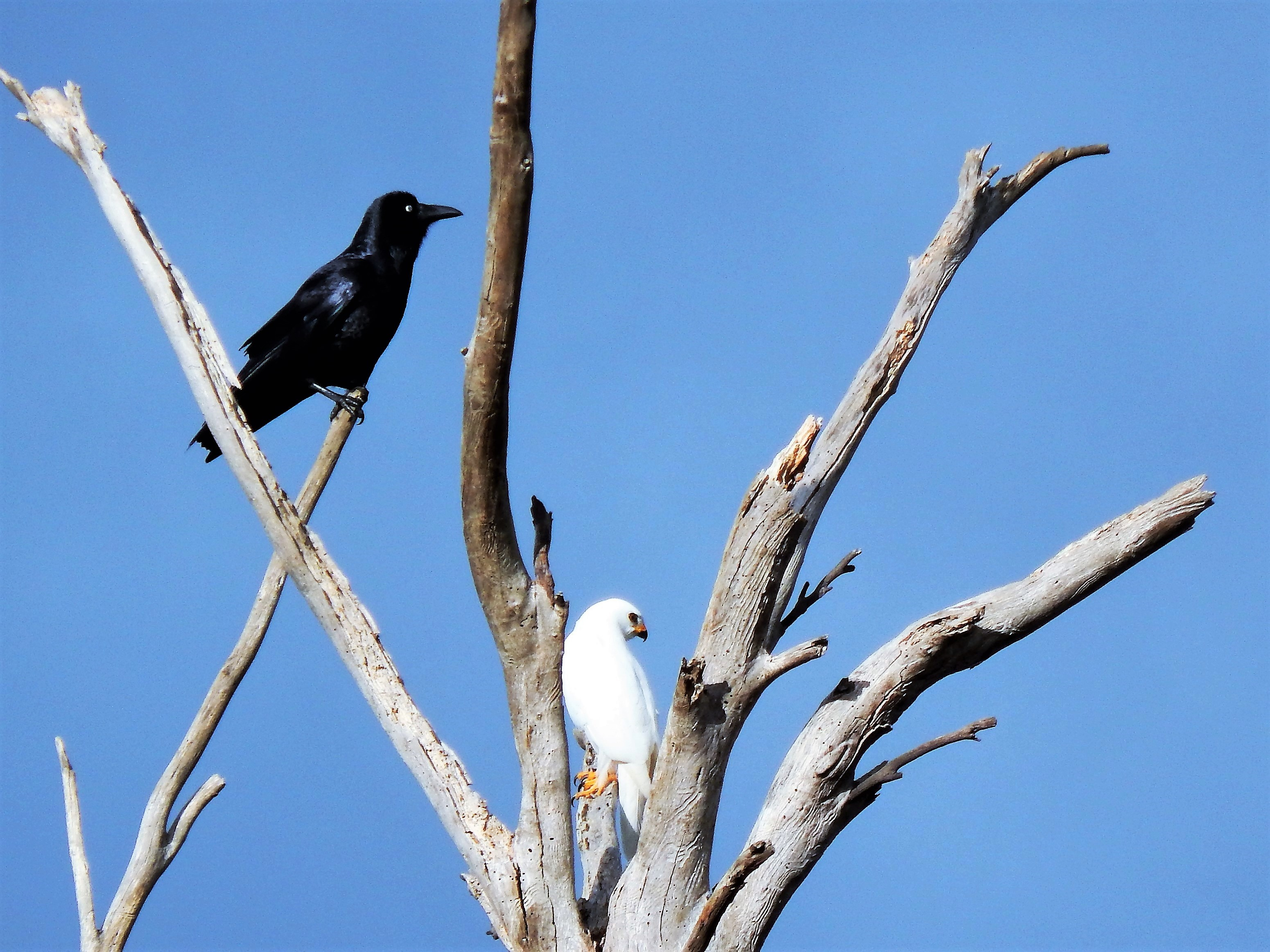 Dead Tree Grey Goshawk and Forest Raven.jpg