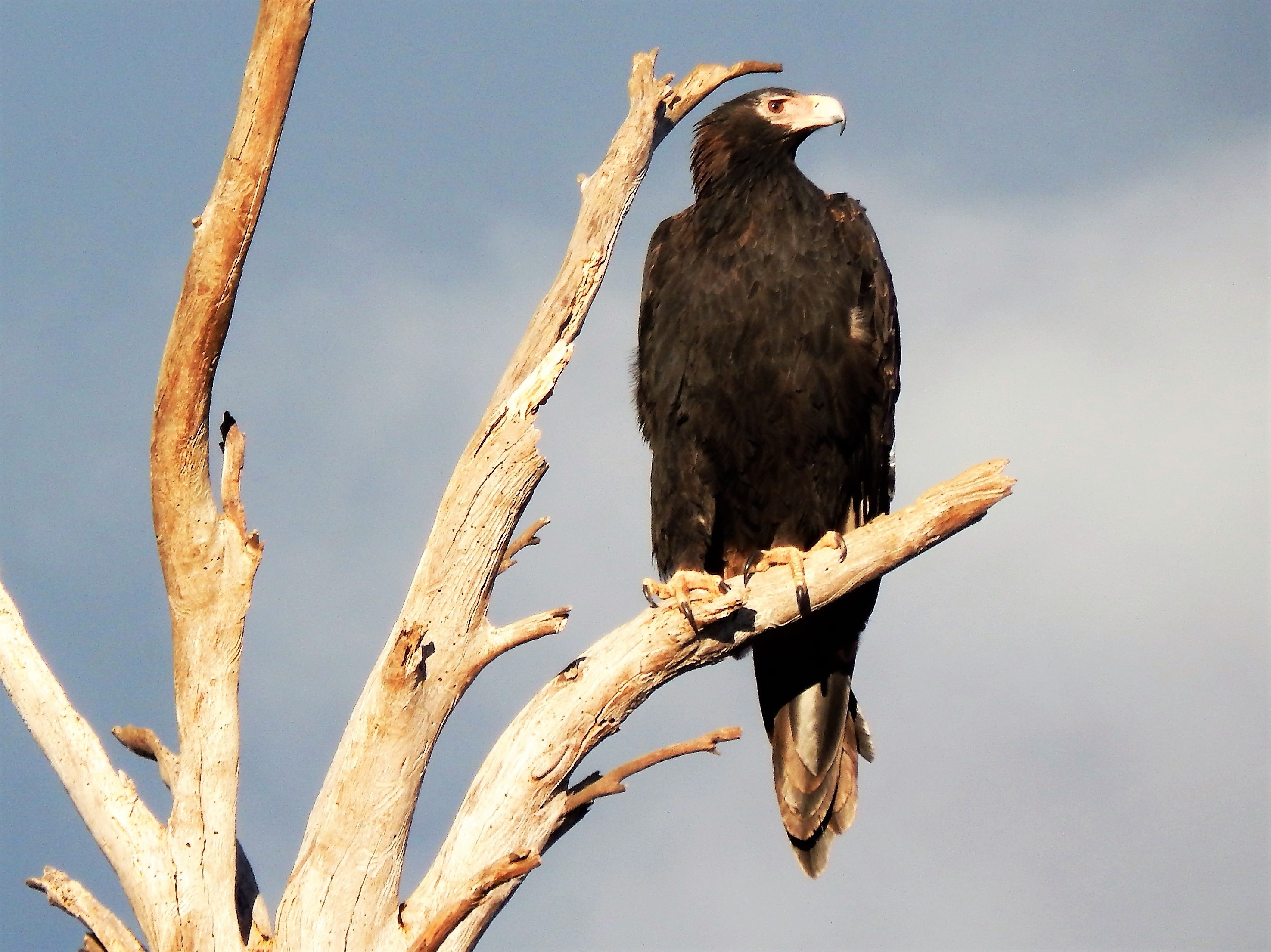 Dead Tree Wedge Tail Eagle.jpg