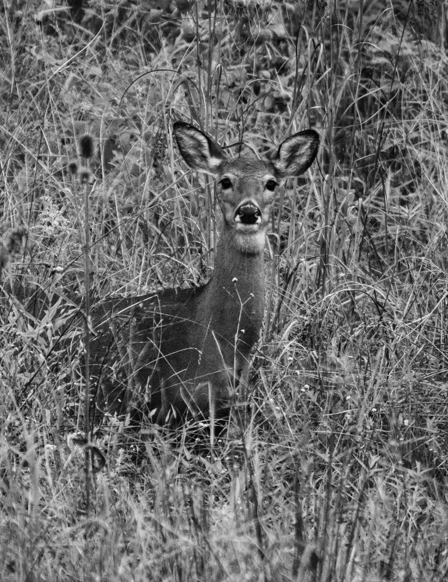 Deer Portrait BW .jpg