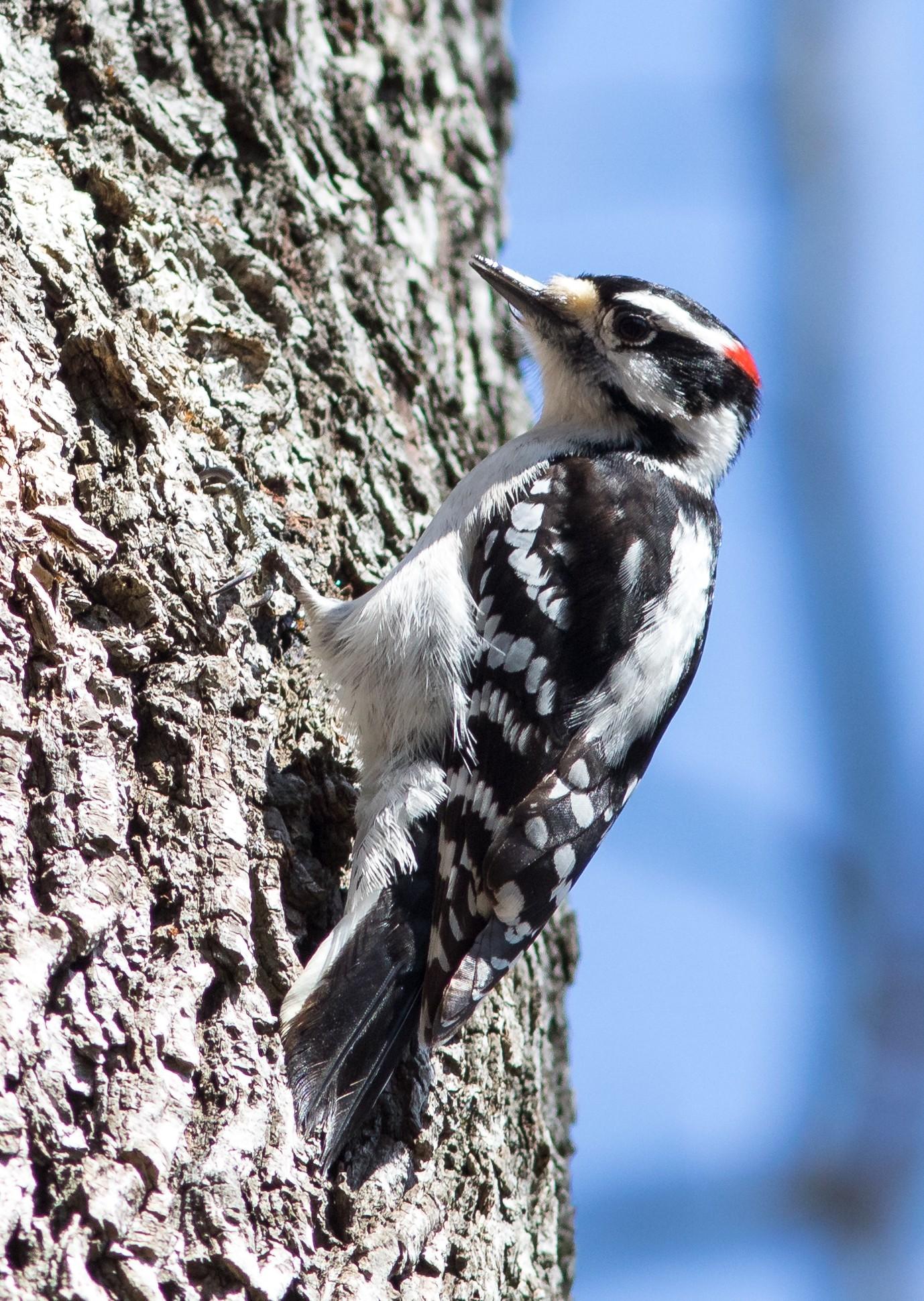 Downey Woodpecker good3.JPG