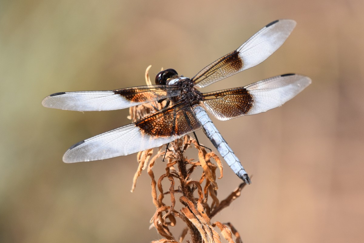 Dragon Fly2 8-11-19 rs.jpg