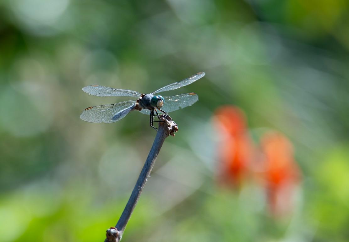 dragonflies-1-6.jpg