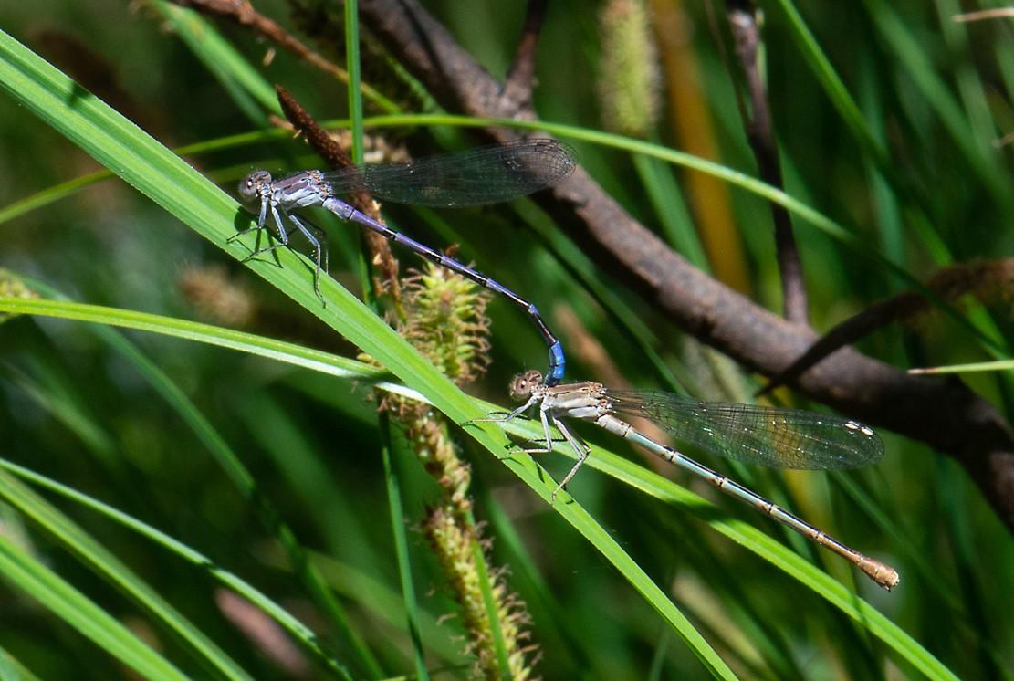 dragonflies-1.jpg