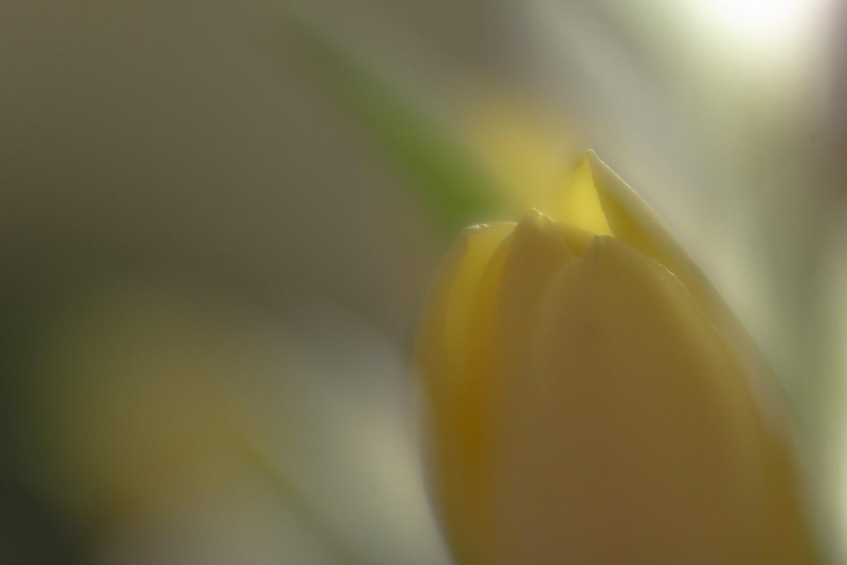 Dreaming of Tulips.jpg